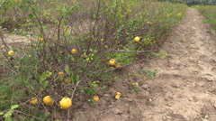 Quince (Chaenomeles) plants with yellow ripe fruits grow in farm Stock Footage