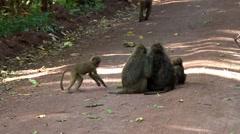 Baboons in the Lake Manyara National Park, Tanzania Stock Footage