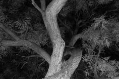 Locust Tree Branches in Black and White - stock photo