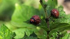 Spraying Insecticide on Colorado Potato Beetle Bugs Larvas - stock footage