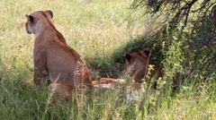 Lionesses in the Serengeti National Park, Tanzania - stock footage