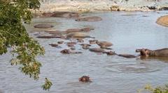 Hippopotamuses in the Serengeti National Park, Safari, Tanzania Stock Footage