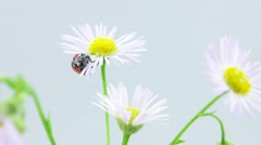 Stock Video Footage of Ladybug walkign on the chamomile flower