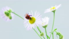 Ladybug taking off on the chamomile flower (include slowmotion version) Stock Footage