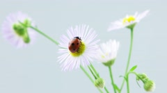 Stock Video Footage of Ladybug playing with petals of chamomile flower