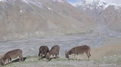 Donkeys graze with valley and river,Dhankar,Spiti,India Stock Footage
