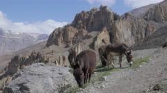 Donkeys graze with Dankhar ridge on background,Dhankar,Spiti,India Stock Footage