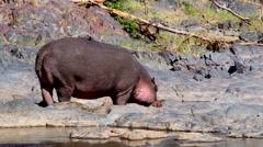 Hippopotamuses in the Serengeti National Park, Tanzania Stock Footage