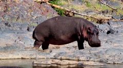Hippopotamus in the Serengeti National Park, Safari, Tanzania - stock footage
