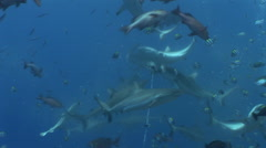 Shark Feeding Frenzy Stock Footage