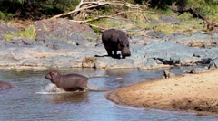 Hippopotamuses in the Serengeti National Park, Safari, Tanzania - stock footage