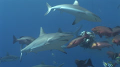 Grey Reef Shark Feeding Frenzy Arkistovideo