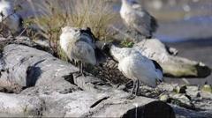 Australian White Ibis (Threskiornis moluccus) Stock Footage