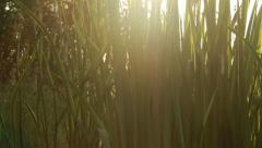 Shore vegetation backlight shot with strong lens flare Stock Footage