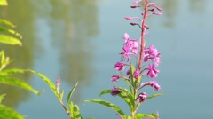 Purple willowherb flowers at a lakeside in Finland - stock footage