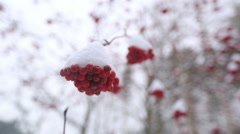 Winter rowan, mountaing-ash, sorbus Stock Footage