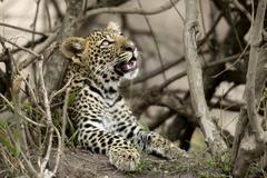 Young leopard in Serengeti, Tanzania, Africa Stock Photos