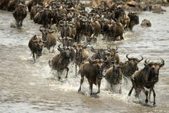 Wildebeest running in river in the Serengeti, Tanzania, Africa Stock Photos