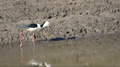 Black Winged Stilt (Himantopus himantopus) 2 - stock footage