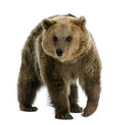 Brown Bear, 8 years old, walking in front of white background Stock Photos