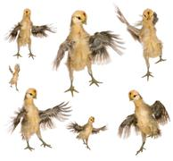 Collection of chicks trying to fly in front of white background - stock photo