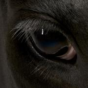 Close-up of Holstein Cow eye, 5 years old Stock Photos