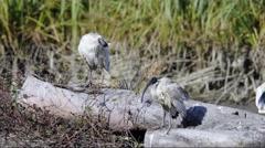 Australian White Ibis (Threskiornis moluccus) 3 Stock Footage