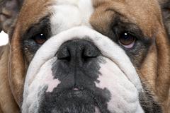 Close-up of English Bulldog, 2 years old Stock Photos