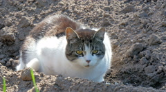Big fat cat on the soil Stock Footage