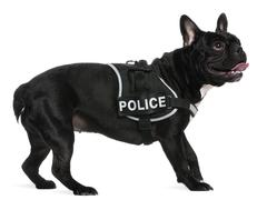 French Bulldog, 2 years old, wearing a police harness standing in front of white Stock Photos