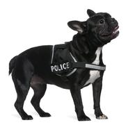 French Bulldog, 2 years old, wearing a police harness standing in front of white - stock photo