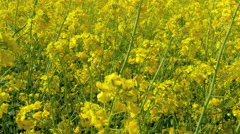 Waving rapeseed or brassica napus plant on the field - stock footage