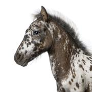 Crossbreed Foal between a Appaloosa and a Friesian horse, 3 months old, standing - stock photo