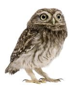Little Owl, 50 days old, Athene noctua, standing in front of a white background - stock photo