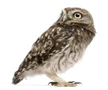 Little Owl, 50 days old, Athene noctua, standing in front of a white background Stock Photos