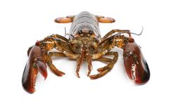 American lobster, Homarus americanus, in front of white background - stock photo