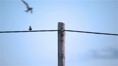 Two Arctic Tern kria birds flying perching on telephone pole wire Stock Footage