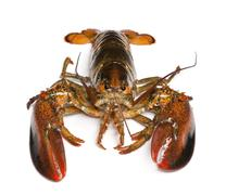 American lobster, Homarus americanus, in front of white background Stock Photos