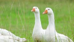 Geese walking on green grass Stock Footage