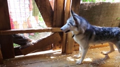 Male hands feed puppies and mother dog husky in wooden aviary Stock Footage