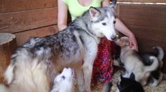 Beautiful woman plays with funny husky puppies indoor Stock Footage