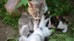 Cat with two kittens lie on grass with kittens. Cat cleans kittens Arkistovideo