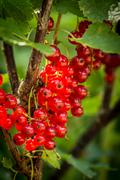 Bunches of fresh red currants Stock Photos