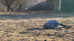 A horse lying on the dusty ground Stock Footage