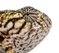 Close-up of Young Panther Chameleon, Furcifer pardalis, in front of white backgr Stock Photos