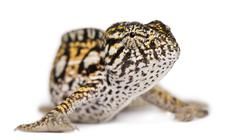 Young Panther Chameleon, Furcifer pardalis, in front of white background Stock Photos