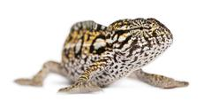 Young Panther Chameleon, Furcifer pardalis, in front of white background - stock photo