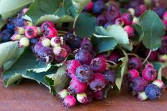 Bunch of first wild autumn berry, Saskatoon in front of dark wooden backgroun - stock photo