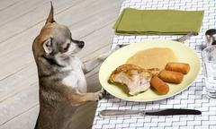 Chihuahua looking at leftover food on plate at dinner table - stock photo