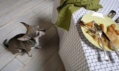 Chihuahua looking up at leftover meal on dinner table - stock photo